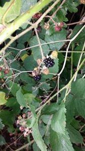 Juicy Blackberries