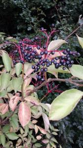 Perhaps Elderberry Plant